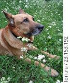 Купить «Собака овчарка на зеленой траве среди полевых цветов», фото № 23153192, снято 17 июня 2016 г. (c) DiS / Фотобанк Лори