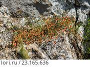 Купить «Эфедра двухколосковая с ягодами на камнях», фото № 23165636, снято 26 июня 2016 г. (c) Борис Панасюк / Фотобанк Лори