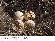 Купить «Четыре птичьих яйца в гнезде», фото № 23165652, снято 6 апреля 2016 г. (c) Борис Панасюк / Фотобанк Лори