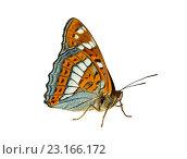 Ленточник тополёвый Limenitis populi (Linnaeus, 1758) Poplar Admiral на белом фоне изолировано. Стоковое фото, фотограф Наталья Волкова / Фотобанк Лори