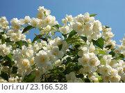 Купить «Ветки куста цветущего чубушника на фоне синего неба», фото № 23166528, снято 26 июня 2016 г. (c) Бабкина Марина / Фотобанк Лори