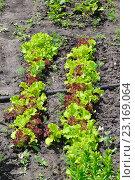 Купить «Зеленый салат растет на грядке в огороде», фото № 23169064, снято 12 июня 2016 г. (c) Олеся Новицкая / Фотобанк Лори