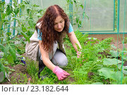 Купить «Девушка - садовод пропалывает морковь на грядке в теплице на дачном участке», фото № 23182644, снято 19 июня 2016 г. (c) Максим Мицун / Фотобанк Лори
