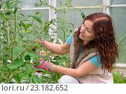 Купить «Девушка - садовод подвязывает помидоры на грядке в теплице на дачном участке», фото № 23182652, снято 19 июня 2016 г. (c) Максим Мицун / Фотобанк Лори