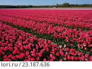 Поле тюльпанов. Голландия (2014 год). Стоковое фото, фотограф Stjarna / Фотобанк Лори