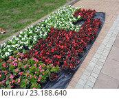Купить «Разноцветные цветы бегонии в горшочках для посадки на городской клумбе», фото № 23188640, снято 6 мая 2016 г. (c) DiS / Фотобанк Лори