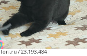 Купить «Черный британский кот и игрушка», видеоролик № 23193484, снято 1 июля 2016 г. (c) worker / Фотобанк Лори