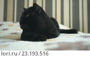 Купить «Черный британский кот и игрушка», видеоролик № 23193516, снято 1 июля 2016 г. (c) worker / Фотобанк Лори