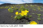 Купить «Цветущий мак мелкоплодный, растущий на вулканическом шлаке колышется на ветру», видеоролик № 23207108, снято 20 января 2020 г. (c) А. А. Пирагис / Фотобанк Лори