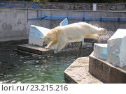 Купить «Белый медведь прыгает в бассейн зоопарка», фото № 23215216, снято 7 июля 2016 г. (c) Вячеслав Светличный / Фотобанк Лори