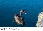Купить «Черный лебедь», фото № 23225012, снято 13 июня 2016 г. (c) Евгений Дробитько / Фотобанк Лори