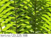 Купить «Листья папоротника», фото № 23225188, снято 15 июня 2016 г. (c) Anna P. / Фотобанк Лори