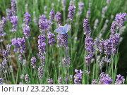Купить «Бабочка голубянка икар сидит на цветках лаванды», фото № 23226332, снято 7 июня 2016 г. (c) Наталья Гармашева / Фотобанк Лори