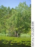 Берёза на берегу пруда летом. Стоковое фото, фотограф Андрей Казаков / Фотобанк Лори
