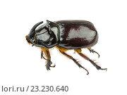 Большой коричневый жук. Стоковое фото, фотограф Nikolay Sukhorukov / Фотобанк Лори
