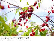Ветки черешни. Стоковое фото, фотограф Юлия Морозова / Фотобанк Лори
