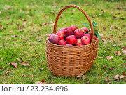 Купить «Корзина с красными яблоками на траве», фото № 23234696, снято 4 октября 2014 г. (c) Юлия Бабкина / Фотобанк Лори