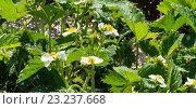 Купить «Цветение виктории», фото № 23237668, снято 13 июня 2016 г. (c) Tamara Sushko / Фотобанк Лори