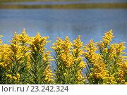 Жёлтые цветы,растущие на берегу реки. Стоковое фото, фотограф Ирина Садовская / Фотобанк Лори