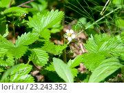 Купить «Wild strawberry flower in the forest», фото № 23243352, снято 5 июня 2016 г. (c) Татьяна Белова / Фотобанк Лори
