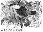 Купить «White-bearded manakin, Manacus manacus, illustration from book dated 1904.», фото № 23244708, снято 12 января 2014 г. (c) age Fotostock / Фотобанк Лори