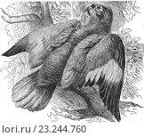 Orange-winged amazon, Amazona amazonica, loro guaro, amazon parrot, illustration from book dated 1904. (2014 год). Редакционное фото, фотограф Ivan Vdovin / age Fotostock / Фотобанк Лори