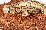 Королевский питон в террариуме, фото № 23265320, снято 19 апреля 2016 г. (c) Сергей Новиков / Фотобанк Лори