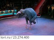 Выступление со слонами на арене Московского цирка Никулина на Цветном бульваре (2016 год). Редакционное фото, фотограф Александр Замараев / Фотобанк Лори