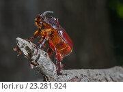 Большой жук-носорог. Стоковое фото, фотограф Nikolay Sukhorukov / Фотобанк Лори