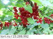 Купить «Много ягод красной смородины на кусте», эксклюзивное фото № 23288992, снято 20 июля 2016 г. (c) Дмитрий Абушкин / Фотобанк Лори