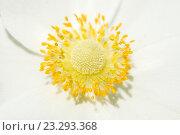 Купить «Желтые пестик и тычинки белого цветка», фото № 23293368, снято 28 мая 2016 г. (c) Pukhov K / Фотобанк Лори