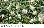 Купить «White roses plant», видеоролик № 23303116, снято 13 мая 2016 г. (c) Яков Филимонов / Фотобанк Лори