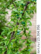 Слива на ветке дерева в саду. Стоковое фото, фотограф Виталий Харин / Фотобанк Лори