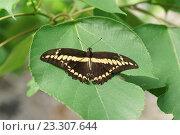 Купить «Парусник Тоас (Papilio Thoas) на зеленом листе», фото № 23307644, снято 11 июня 2016 г. (c) Наталья Гармашева / Фотобанк Лори