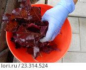 Рука в резиновой перчатке кладет листья салата в миску (2016 год). Стоковое фото, фотограф lana1501 / Фотобанк Лори