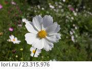 Белая космея на фоне зеленой травы. Стоковое фото, фотограф Синицын Юрий Альбертович / Фотобанк Лори