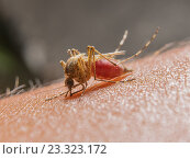 Комар на коже. Стоковое фото, фотограф Алексей Безрук / Фотобанк Лори