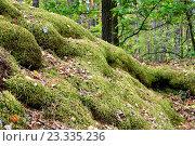 Лесная кочка, заросшая мхом. Стоковое фото, фотограф Андрей Силивончик / Фотобанк Лори