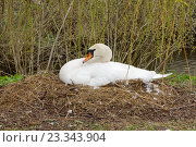 Купить «Самка белого лебедя-шипуна сидит на гнезде в траве у водоёма», эксклюзивное фото № 23343904, снято 24 апреля 2016 г. (c) Константин Косов / Фотобанк Лори