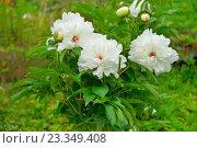 Купить «Куст белых пионов растёт на грядке», фото № 23349408, снято 27 июня 2016 г. (c) Максим Мицун / Фотобанк Лори