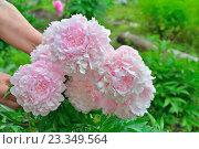 Купить «Куст розовых пионов Сара Бернар на грядке в руках садовода», фото № 23349564, снято 27 июня 2016 г. (c) Максим Мицун / Фотобанк Лори