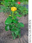 Купить «Желтая роза растёт на грядке», фото № 23349572, снято 14 июля 2016 г. (c) Максим Мицун / Фотобанк Лори