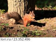 Купить «Белочка в лесу сидит на фоне дерева», эксклюзивное фото № 23352496, снято 29 июля 2016 г. (c) Яна Королёва / Фотобанк Лори