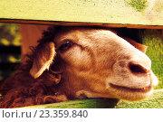 Купить «Овца в загоне для скота», фото № 23359840, снято 24 июля 2016 г. (c) Екатерина Овсянникова / Фотобанк Лори