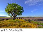 Купить «Дерево в поле в Провансе», фото № 23365100, снято 4 июля 2016 г. (c) Антон Гвоздиков / Фотобанк Лори