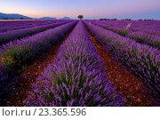 Купить «Красивое лавандовое поле на плато Валансоль, Прованс, Франция», фото № 23365596, снято 4 июля 2016 г. (c) Антон Гвоздиков / Фотобанк Лори