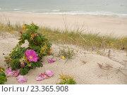 Купить «Шиповник растущий на песке», эксклюзивное фото № 23365908, снято 4 августа 2016 г. (c) Svet / Фотобанк Лори