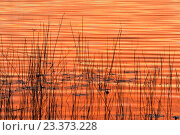 Купить «Sunrise sky reflected in reedbed along shore of Halfway Lake, Halfway Lake Provincial Park, Ontario, Canada.», фото № 23373228, снято 6 августа 2015 г. (c) age Fotostock / Фотобанк Лори