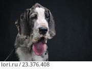 Портрет собаки с высунутым языком на черном фоне. Стоковое фото, фотограф Юра Добро / Фотобанк Лори