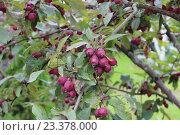 Купить «Маленькие красные (райские) яблоки на ветке», фото № 23378000, снято 7 августа 2016 г. (c) Азаркевич Андрей / Фотобанк Лори